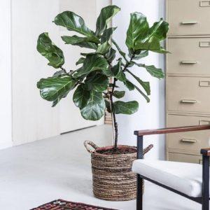 ogreen-ficus-lyrata-plant